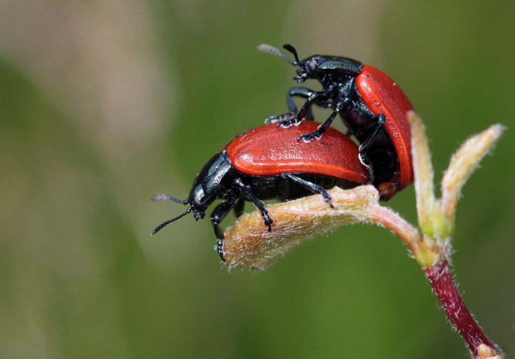 beetle-248481_1920