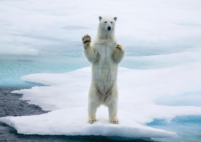 Il primo orso polare avvistato da Ole nella sua carriera e questa è stata l'unica volta in cui ne ha visto uno alzarsi sulle zampe posteriori e salutare il fotografo. 300 mm f/4, 1/800 di sec, f/4, ISO 200
