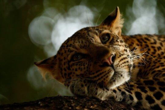Lounging Leopard ©Skye Meaker