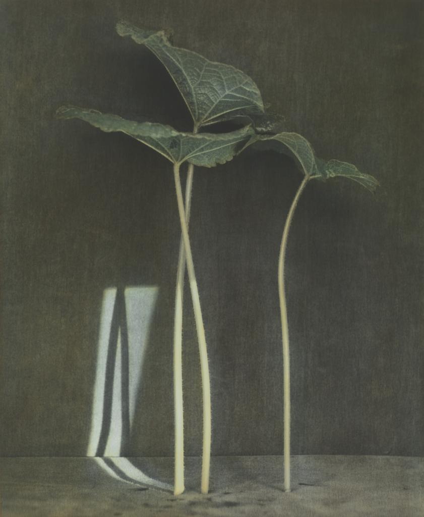 Ingar Krauss, Hollyhock, stampa analogica in bianco e nero colorata con la tecnica delle velature, 2015 foto dall'archivio dell'artista