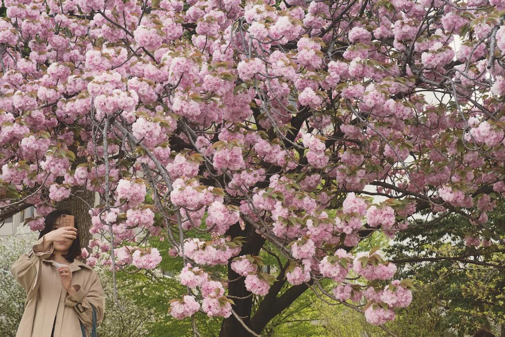 Fiori di ciliegio © Veronica Siano