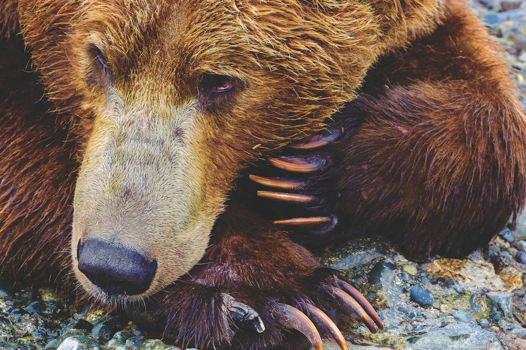 Primo piano di un Grizzly.