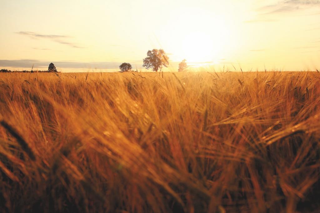 Campo di grano sfocato