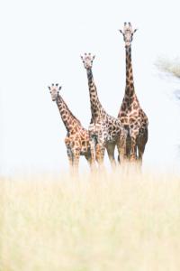 Una famiglia di giraffe nel Serengeti, a margine di un incarico commerciale