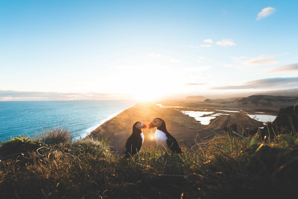 I tramonti sono più belli in due. Il corteggiamento di questi due pulcinella di mare rende a meraviglia il romanticismo di un tramonto in Islanda.