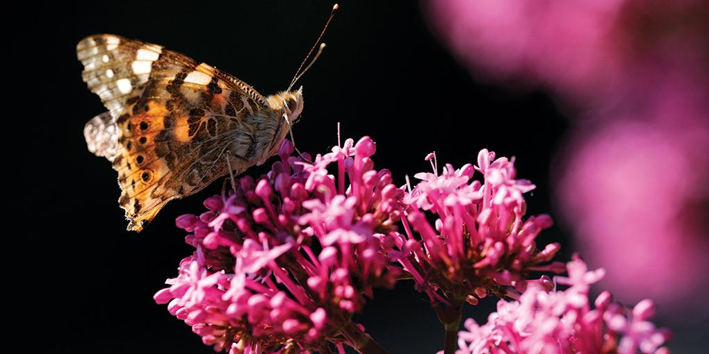 fotografare le farfalle